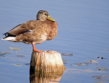 Duck Sleeping While Balancing On An Old Tree Stump - Wetlands photo