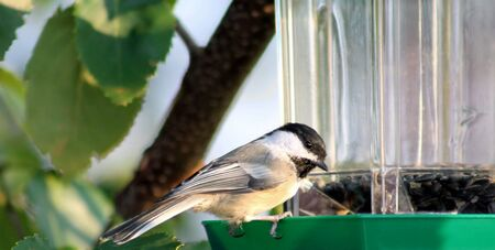 bird feeder: Black Capped Chickadee At Bird Feeder