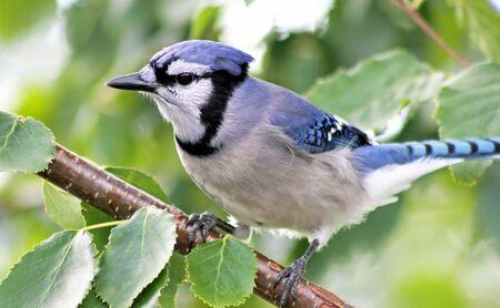 jay: Blue Jay In Tree