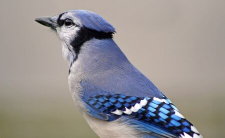 Blue Jay photo