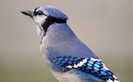 jay: Blue Jay