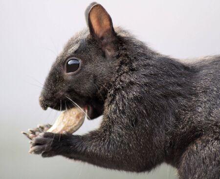 black squirrel: Squirrel Eating Peanut