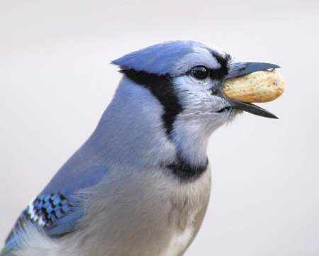 swallowing: Blue Jay Swallowing Peanut