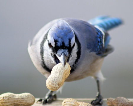 blue jay bird: Blue Jay With Peanut - aggressive stance looking at camera Stock Photo