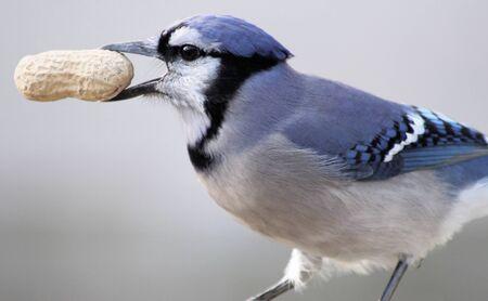 jay: Blue Jay With Peanut