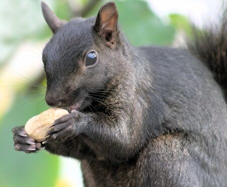 Squirrel Eating Peanut photo