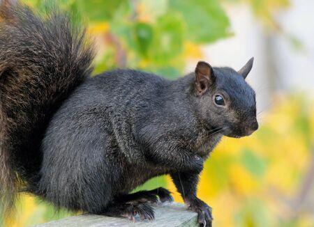 black squirrel: Squirrel