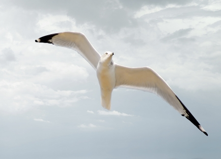Seagull In Flight photo