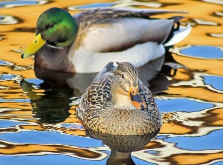 Mallard Pair - male and female, on beautiful reflective waters Stock Photo - 16459635