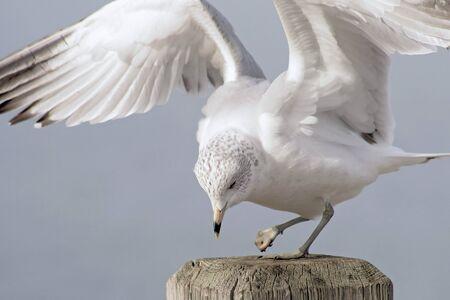 Seagull Met Crippled Voet