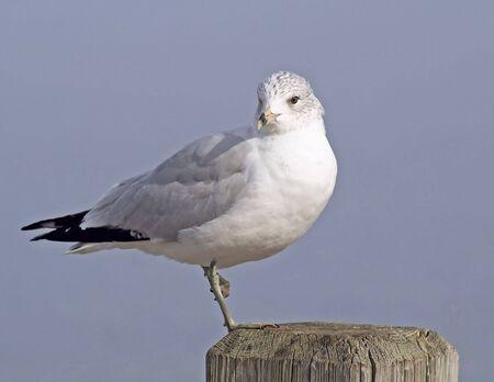 Seagull balancing on post