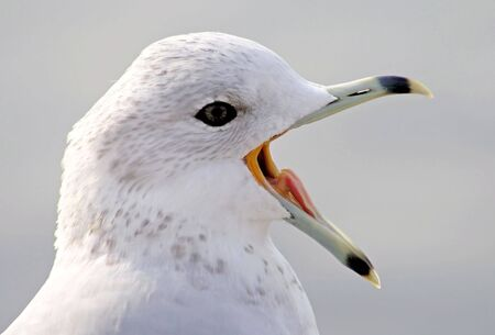 loud: Open Wide - Ring billed seagull with beak wide open - Tongue visible