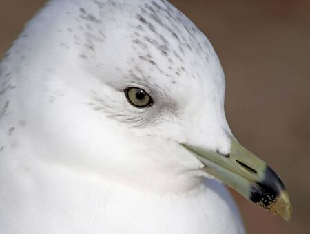 Ring Billed Seagull - grains of beach sand on its beak Banco de Imagens