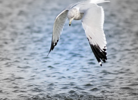 Seagull Preparing To Dive Into Water
