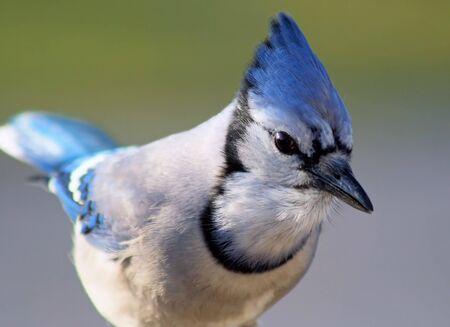 bluejay: Blue Jay