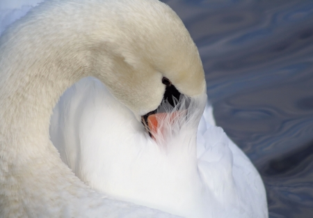 Beautiful Swan Preening Her Feathers Stock Photo - 16971390