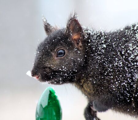 black squirrel: Squirrel In Snow - standing beside green Christmas light