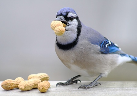 Blue Jay With Peanuts photo
