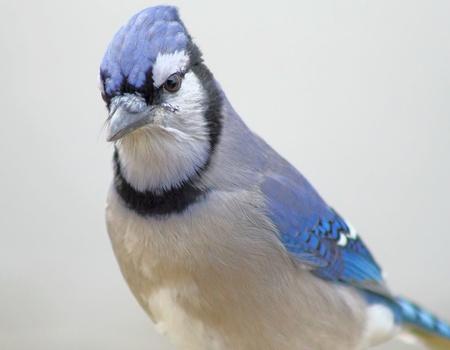 jay: The Blue Jay