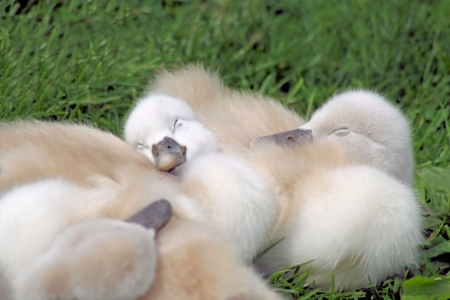 Baby Swans Sleeping photo