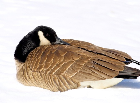 Canada Goose - resting on the snow, beak tucked into feathers