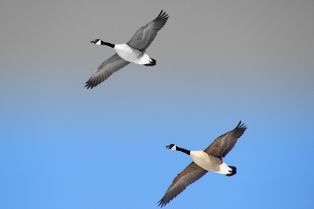 Canada Geese In Flight - 2 tone background photo