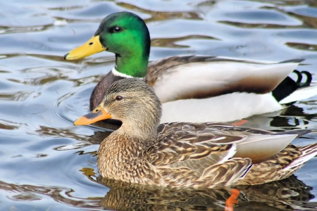 mates: Mallard Duck Mates Swimming Side By Side Stock Photo