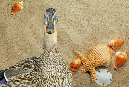 Duck On Vacation - added beach background Stock Photo - 18712537