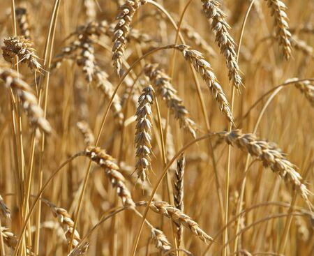hard: Hard Red Wheat  Stock Photo