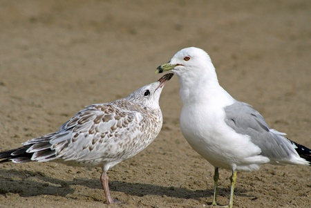 Adult Seagull With Its Young Banco de Imagens