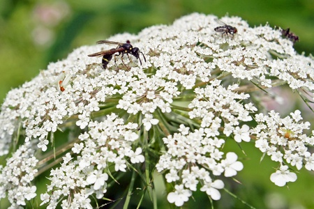 queen anne   s lace: Insects Feeding On Queen Anne s Lace - also called Wild Carrot