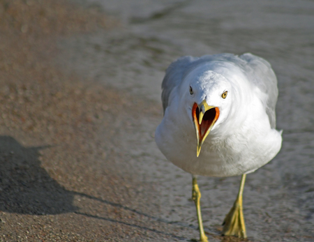 The Loud And Bossy Gull