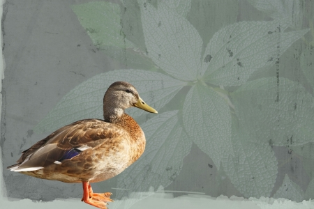 female mallard duck: Profile of a Mallard duck female standing against an abstract leaf background
