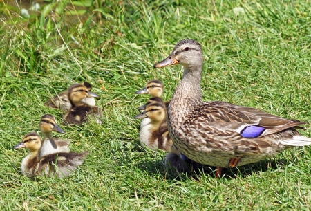 Mallard duck female with her baby ducklings  photo
