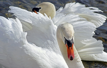 Mates for life - the beautiful and elegant Mute Swan photo