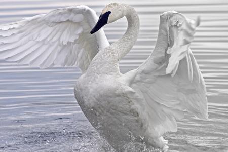 cisnes: Cisne Trompetero aleteo y que estira sus alas hermosas en las aguas del pantano