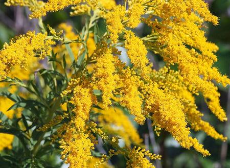 갈 조색의 밝은 노란색 꽃입니다. 약초로 간주되지만 약용 및 식용