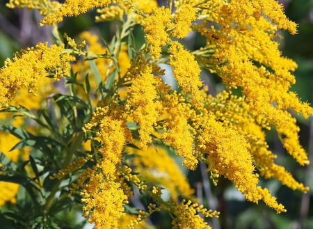 goldenrod: Bright yellow flowers of the Goldenrod.  Considered a weed yet is also medicinal and edible Stock Photo