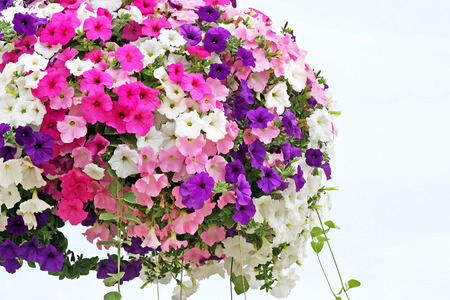 hanging basket: Hanging basket overflowing with colorful Petunia blooms