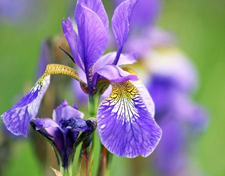 Delicate purple Iris growing wild in meadow Фото со стока
