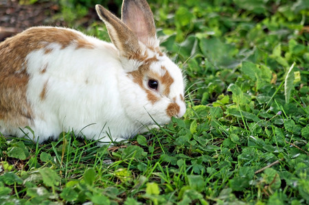 Cute little bunny eating clover and grass outdoors photo