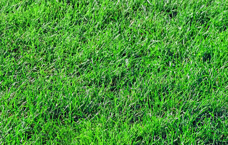 pesticide free: Close up of a section of grass from a pesticide free healthy green lawn