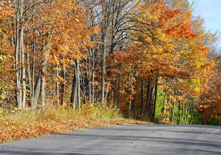 gold road: Country road lined with tall trees with beautiful Autumn colors of orange and gold