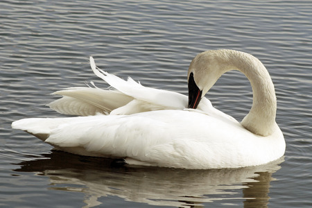 trumpeter swan: Beautiful Trumpeter Swan preening her feathers as she floats on calm blue waters