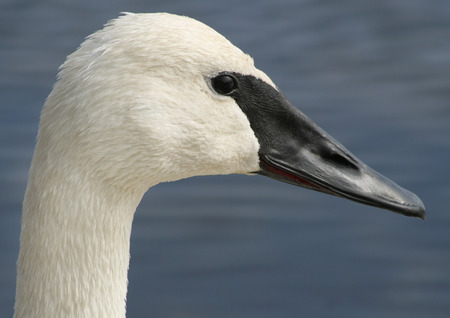 distinctive: Profile of the Trumpeter Swan with its distinctive black beak