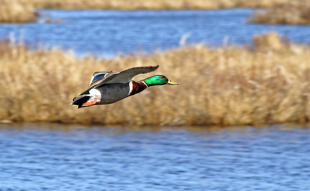 Mallard duck male in flight - beautiful blue waters and grasses of Wetlands in background photo