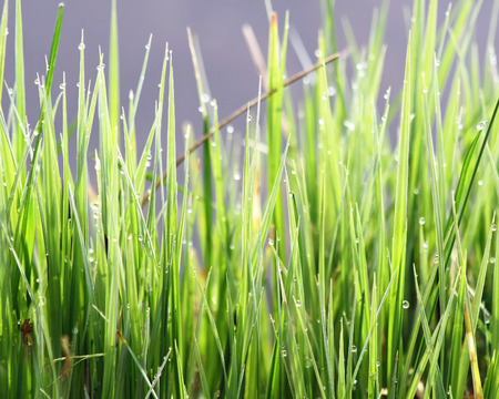 Blades of green grasses in early morning with tiny dew drops photo