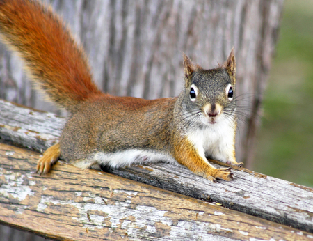 laying forward: Cute little Red Squirrel resting on top of park bench Stock Photo