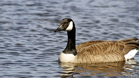 swimming bird: The Canada Goose swimming on calm blue waters
