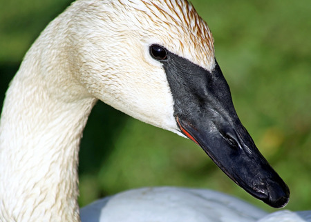 distinctive: The Trumpeter Swan With Its Distinctive Black Beak